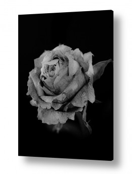 צילומים אילן עמיחי | flower bw 5