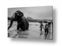 צילומים בעלי חיים | הפיל