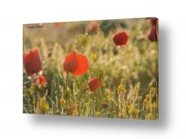 צמחים פרחים | כלניות