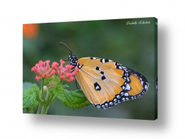 צילומים בעלי חיים | דנאית הדורה