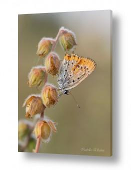 תמונות לפי נושאים בעלי כנף | פרפר