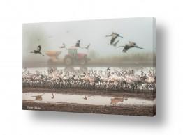 תמונות לפי נושאים גורים | עגורים בערפל