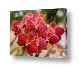 פרחים סחלבים | סחלבים
