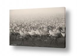 תמונות לפי נושאים בעלי כנף | עגורים בערפל