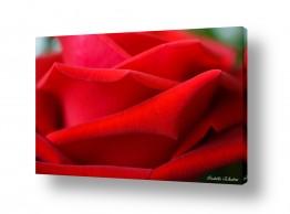 צמחים פרחים | ורד
