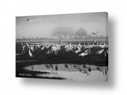 תמונות לפי נושאים השתקפות | עגורים בשחור לבן