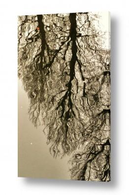 תמונות לפי נושאים שלולית | השתקפות עץ במים