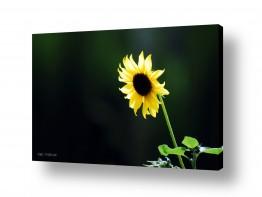פרחים חמניה | חמנית