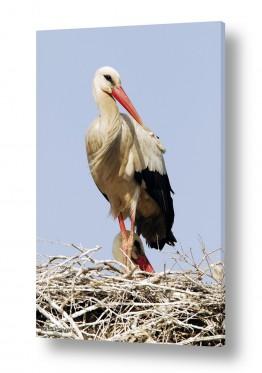 חיות ציפורים | חסידה