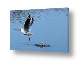 חיות ציפורים | שחף