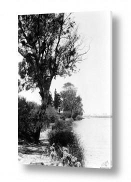 תמונות לפי נושאים אקליפטוס | תל אביב 1939 - הירקון