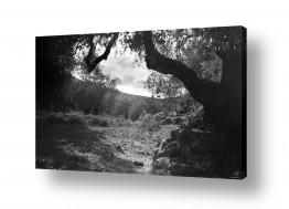 צילומים ארץ ישראל הישנה | עלאר 1947 - עצי זית