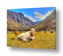 צילומים עיבודים | פרה בטבע