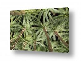 עץ תמר | דקלים