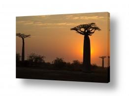 צילומים מאיר בר-אל   זריחה בין עצי באובב