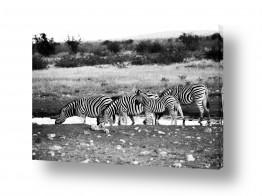 צילומים שחור לבן | זברות
