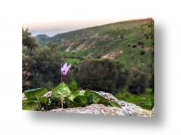 צמחים צמח בר | רקפת עם נוף לים