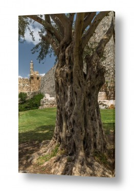 עץ שורש | שורשי דוד המלך