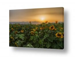 פרחים חמניה | ענווה בשדה החמניות..
