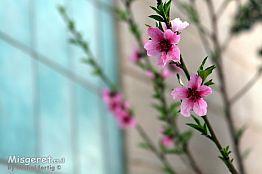 פרח האפרסק