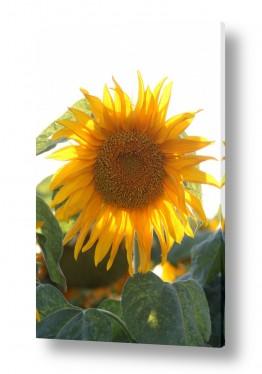 פרחים חמניה | פרח שמש