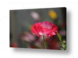 פרחים פרגים | התבהרות