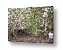 עץ שקד | אגדה יפנית בגליל 1