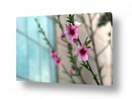 צילומים כפרי | פרח האפרסק