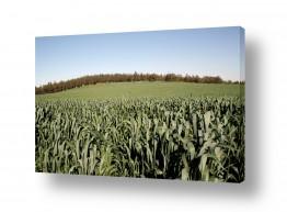 שדות חיטה | ירוק מאד
