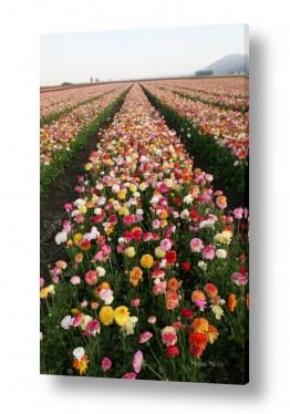 פרחים נורית | צבעוניות