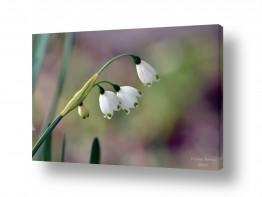 פרחים לבנים לבן | פעמונים