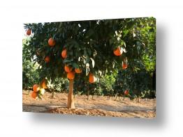 אוכל פירות | עץ התפוז