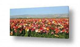 פרחים נורית | שדה נוריות