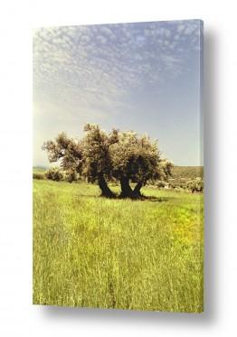 עץ עץ זית | סבא זית