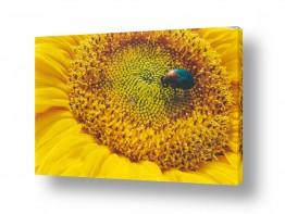 פרחים חמניה | תכשיט