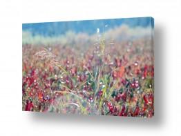 נושאים תמונות נופים נוף | שיבולים בשדה פילפלים