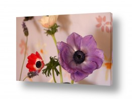 פרחים כלנית | כלניות בבית