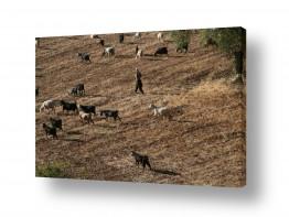 חיות יונקים | רועה את עדרו