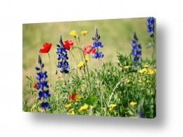 פרחים פרגים | תנועה קלה