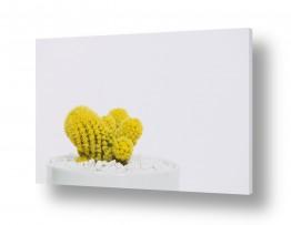 צמחים צבר | קקטוס צהוב