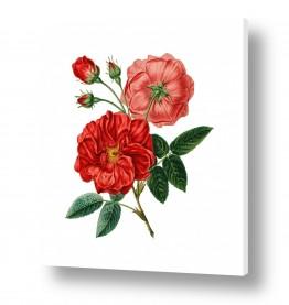 פרחים שושנה | בוטני אדום
