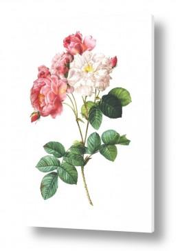 ציורים רטרו | בוטני ורדים