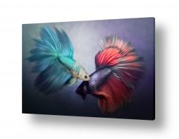 ציורים בעלי חיים | דגי קרב