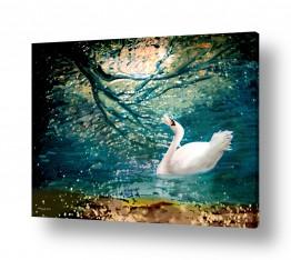 עוף מים ברבור | געגועים לנחל