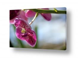 פרחים סחלב | סחלב ורוד
