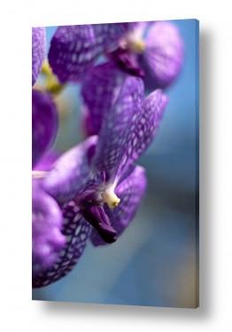 פרחים סחלב | סחלב סגול
