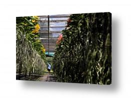 פרחים סחלב | קטיף סחלבים