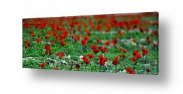 פרחים כלנית | אדום אדום