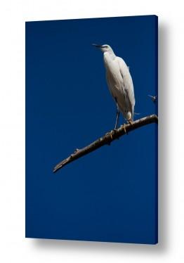 תמונות לפי נושאים לבנה | אנפה על ענף