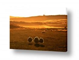 צילומים ניר אלון | כבשים בזריחה